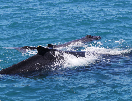 Pilbara Humpback Whale Migration