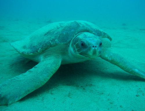 Flat Back Turtle Nesting Season in Pilbara (Nov to April)